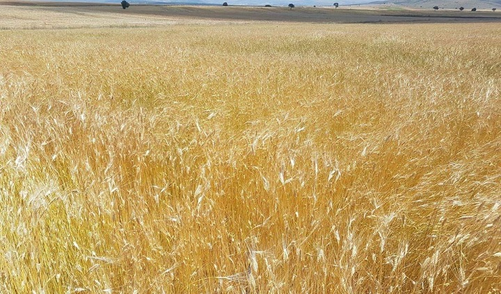 Siyez Buğdayı 3.000 Yıl Sonra Frigya Vadisine Geri Döndü