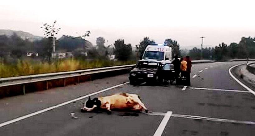 Araç Büyük Baş Hayvana çarptı..!!